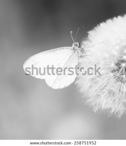 Dandelion spring flower background, black and white monochrome - stock photo
