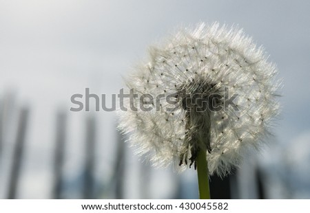 Dandelion with picket fence and grey sky background - stock photo