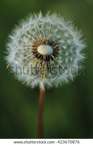 Dandelion with seeds  - stock photo