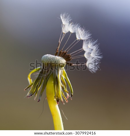 Dandelion with seeds on grass background - stock photo