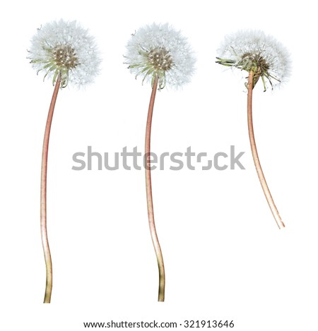 Dandelion with stalk on isolated white background