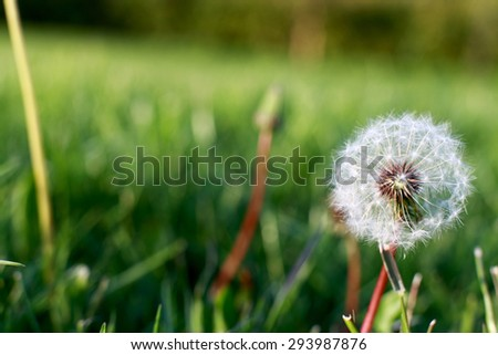 Dandelion with the seeds on the green background