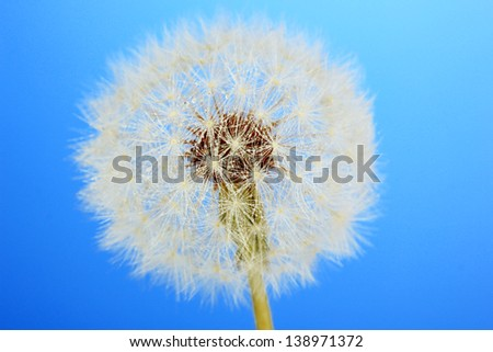 Dandelion with water drops on blue background - stock photo