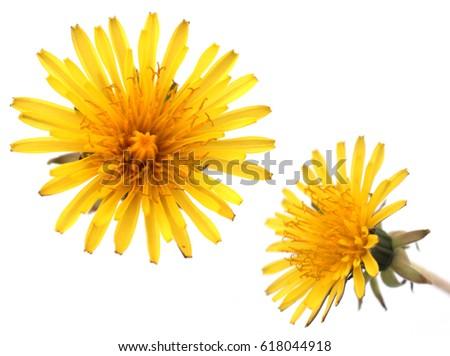 Dandelion yellow flower stock photo royalty free 618044918 dandelion yellow flower mightylinksfo