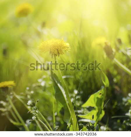 Dandelion yellow flower growing in spring time on the green grass with sun rays - stock photo
