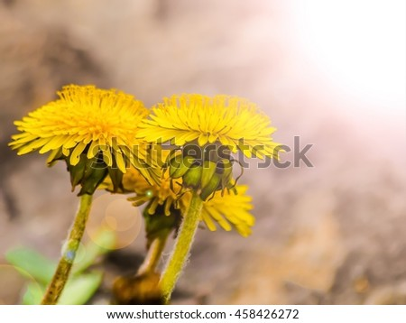 Dandelion yellow flowers in the sunlight - stock photo