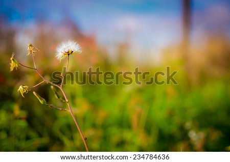 Dandelions - stock photo