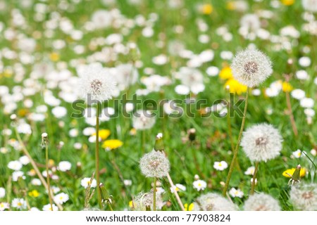 dandelions against the background of green grass - stock photo