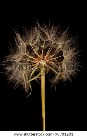 Dandelions connected to the stem shot against a black backdrop - stock photo