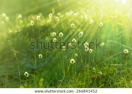 Dandelions dawn - stock photo