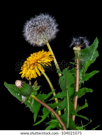 dandelions, from a bud to seeds on a black background