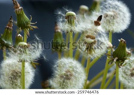 Dandelions in meadow. - stock photo