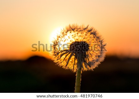 Dandelions in meadow at a red sunset