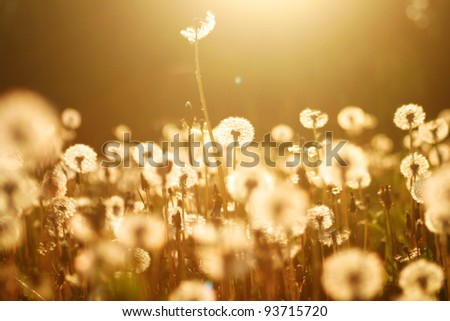 Dandelions in meadow at sunset. - stock photo