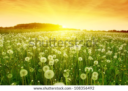 Dandelions in meadow during sunset. - stock photo