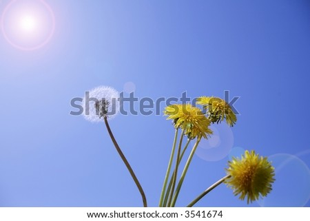 dandelions in the sunlight on background of blue sky