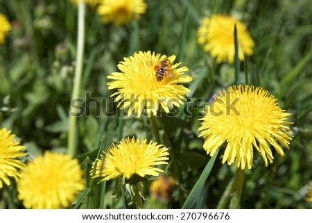 Dandelions on a background of flowers and green grass. - stock photo