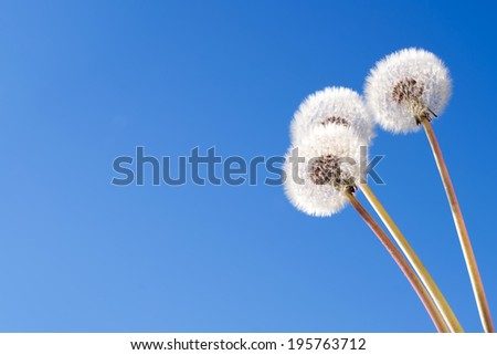 dandelions on a blue background - stock photo