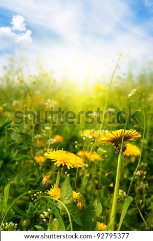 Dandelions sunlit - stock photo