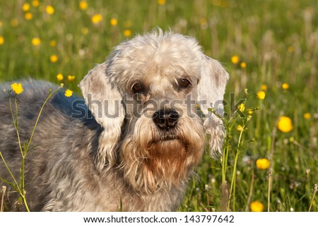 Dandie Dinmont Terrier on the meadow - stock photo