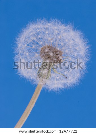 Dandilion closeup on blue background - stock photo