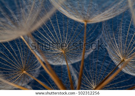 Dandilion seeds against a blue background that show it's dainty features - stock photo