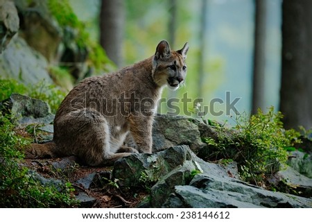 Danger Cougar siting in the green forest - stock photo