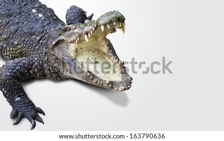dangerous alligator with open mouth - stock photo