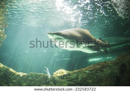 dangerous and powerful shark swimming under water - stock photo