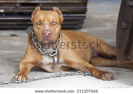 Dangerous dog or vicious dog brown pitbull fierce eyes in a big chain. - stock photo