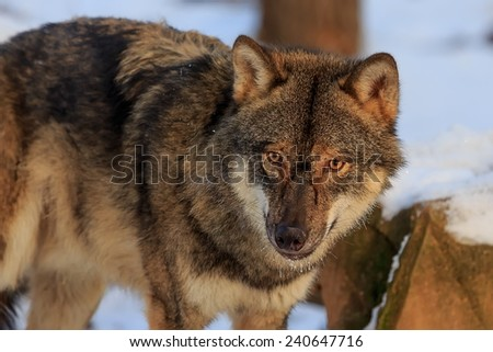 dangerous Eurasian wolf  - stock photo