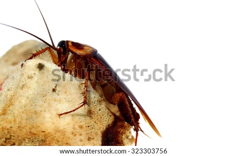 dangerous from Brown Cockroach on spoiled food - stock photo