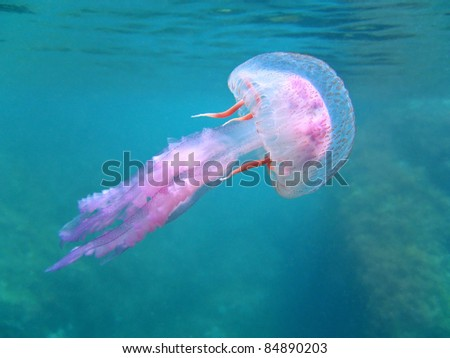 Dangerous jelly fish Pelagia Noctiluca near surface, Mediterranean sea, Corsica, France - stock photo