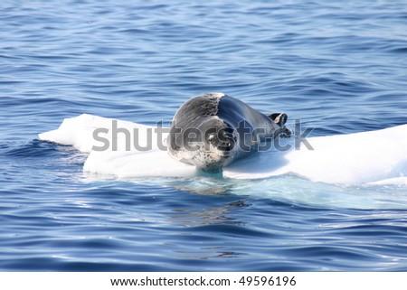 Dangerous leopard seal on ice floe in Antarctica. - stock photo