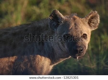 Dangerous Nocturnal Predator - The Spotted Hyena. Kruger park, South Africa - stock photo