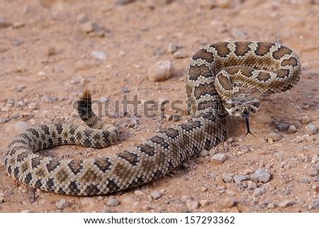 Dangerous rattle snake, coiled and ready to strike - Great Basin Rattlesnake, Crotalus oreganus lutosus  - stock photo