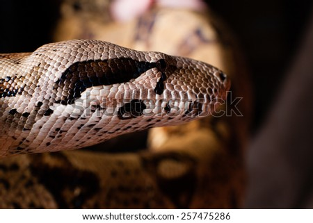 dangerous snake . Close-up of snake head - stock photo