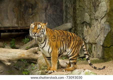 Dangerous tiger - stock photo