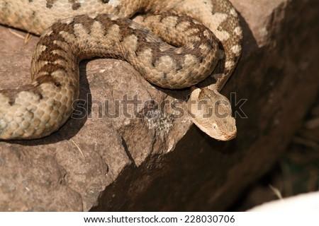 dangerous venomous european snake (Nose horned viper, Vipera ammodytes, female) basking on a rock - stock photo