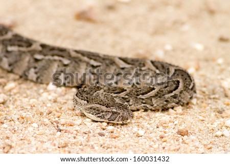 Dangerous venomous puff adder snake in dirt road South Africa - stock photo