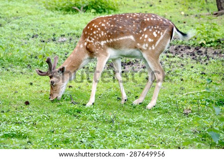 daniel deer eats green grass, Dama dama - stock photo