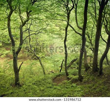 Danish beech forest at springtime.