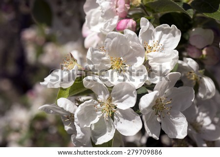 Danish blooming apple tree closeup - stock photo