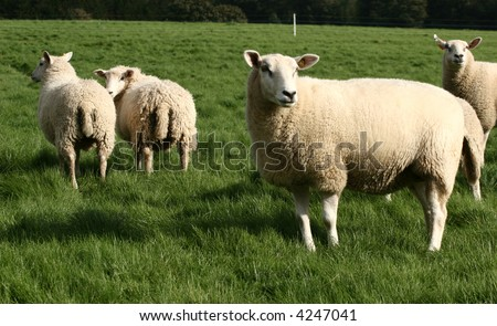 danish sheep on a field in the summer - stock photo