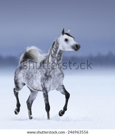 Dapple-grey arabian horse in motion on snow field - stock photo