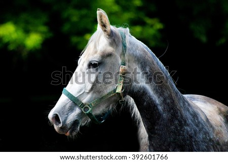 dapple-grey Arabian white horse breed calm sleepy summer on the background of bright juicy green and black solid background