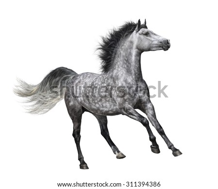 Dapple-grey horse in motion - isolated on white - stock photo