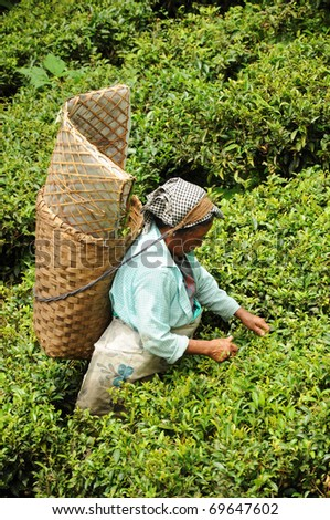 DARJEELING, INDIA - AUGUST 20: Women picks tea leafs on the famous Darjeeling tea garden during the monsoon season on August 20, 2010. The majority of the local population are immigrant Nepalis. INDIA - stock photo