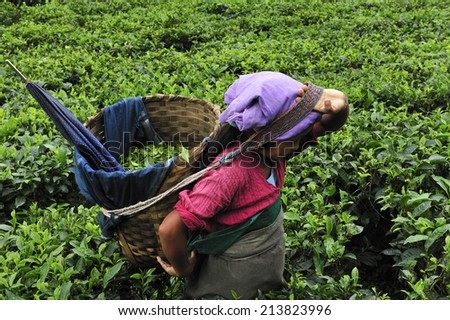 DARJEELING, INDIA,  - July. 3. 2014: Women pick up tea leafs by hand at tea garden in Darjeeling, one of the best quality tea in the world, India - stock photo