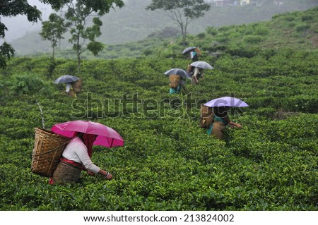 DARJEELING, INDIA,  - July. 3. 2014: Women pick up tea leafs by hand in the rain at tea garden in Darjeeling, one of the best quality tea in the world, India - stock photo